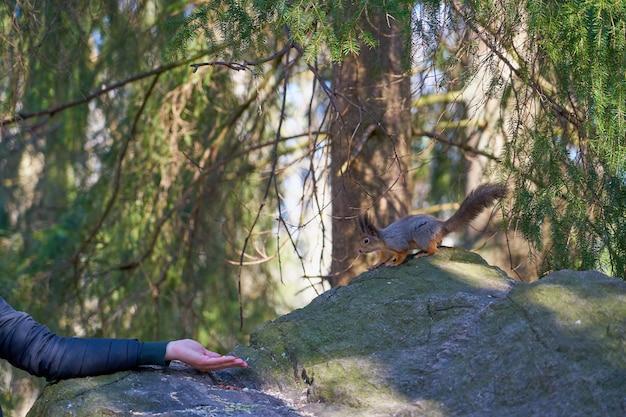 Scoiattolo che mangia le noci dalla mano nei boschi in primavera.