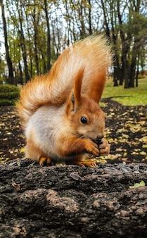 Scoiattolo che mangia i semi su un albero nel parco