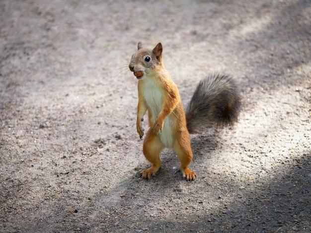Scoiattolo che si alimenta da vicino. animali selvaggi nel parco.