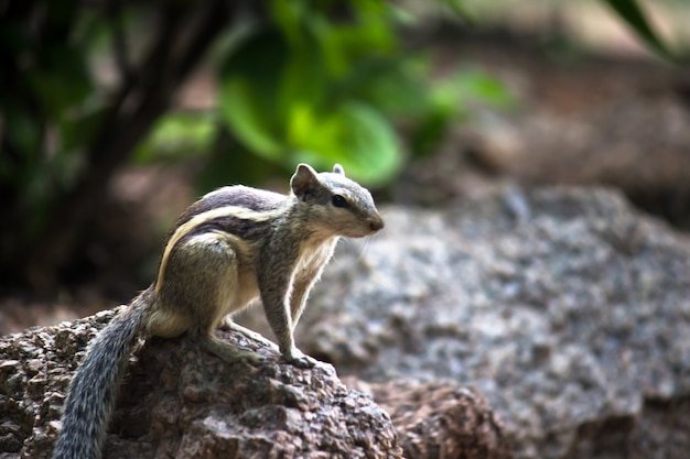 Scoiattolo o roditore o noto anche come scoiattolo sulla roccia