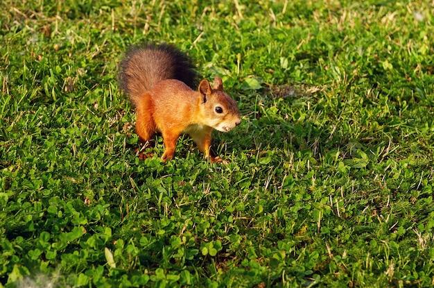 Uno scoiattolo si siede a terra e nella foresta in un parco naturale.