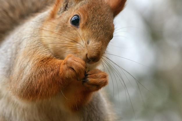 Lo scoiattolo si siede su un albero e rosicchia una noce. avvicinamento.