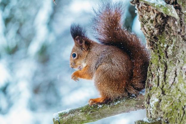 Scoiattolo nella foresta invernale. uno scoiattolo si siede su un ramo di un albero e mangia in una soleggiata giornata invernale.
