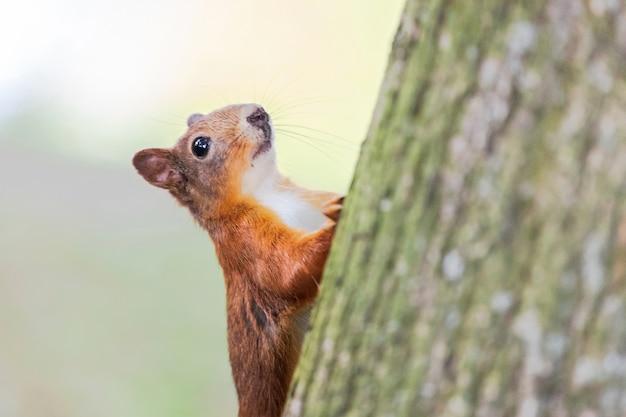 Scoiattolo con pelliccia rossa nella foresta di autunno
