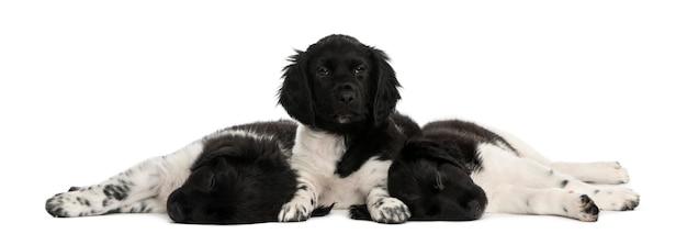 Cuccioli di stabyhoun sdraiati insieme a riposo isolato su bianco