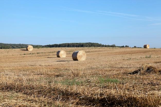 Una pila di paglia di grano, che è nel campo dopo il raccolto
