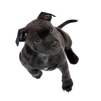 Staffordshire bull terrier cucciolo con 2 mesi.