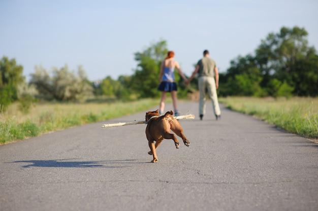 Staffordshire terrier in esecuzione con grosso bastone