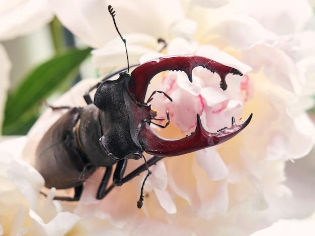 Stag beetle su un fiore.