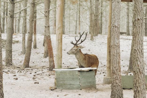 Un cervo sta bevendo acqua nella foresta