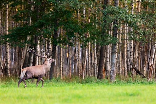 Cervo nobile rosso di cervo con grandi corna nel campo di erba contro la foresta di autunno.