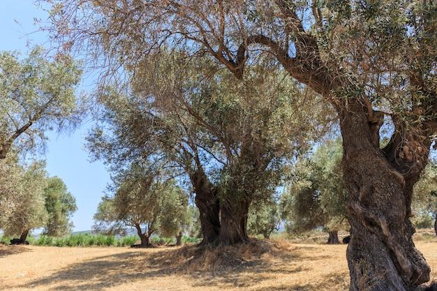 Una piantagione di ulivi secolari