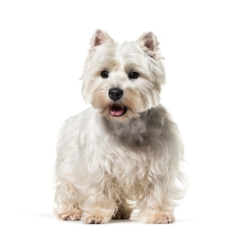 Cane diritto di west highland white terrier, isolato