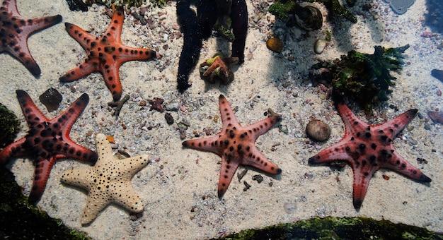 Stelle marine sott'acqua sulla sabbia nel mare tropicale.
