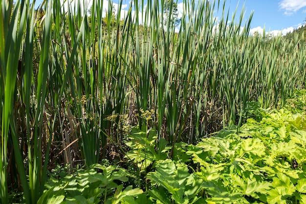 I gambi delle canne ai margini della palude. piante palustri.