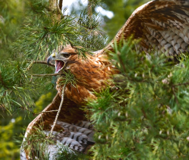 Aquila delle steppe nella foresta tra i rami