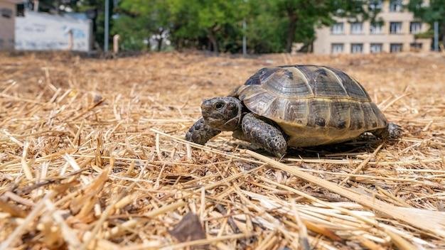 Tartaruga mediterranea della steppa nel parco cittadino