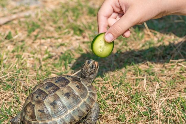 Tartaruga mediterranea della steppa sull'erba
