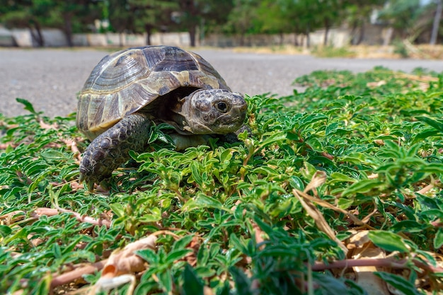 Tartaruga mediterranea della steppa su erba verde