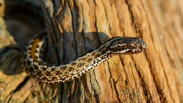Steppa viper (vipera ursinii). serpente velenoso, da vicino
