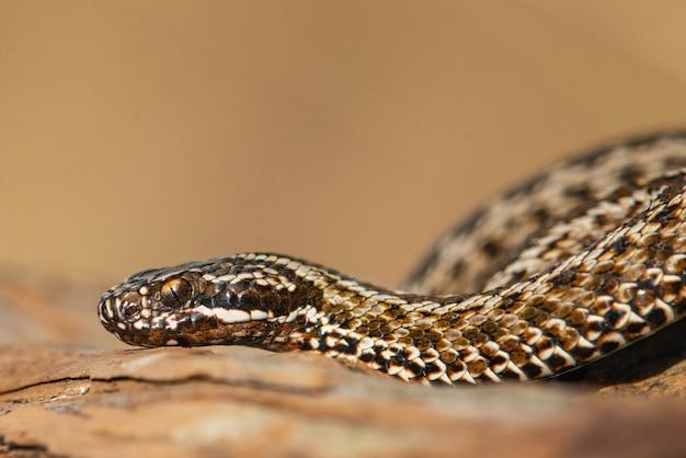 Vipera della steppa, vipera ursinii, serpente velenoso. avvicinamento