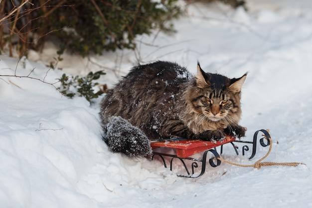 Poppa coon maine siede su una slitta in inverno.