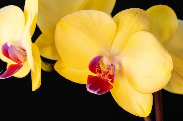 Natura morta con bellissimi fiori di orchidea su sfondo nero da vicino