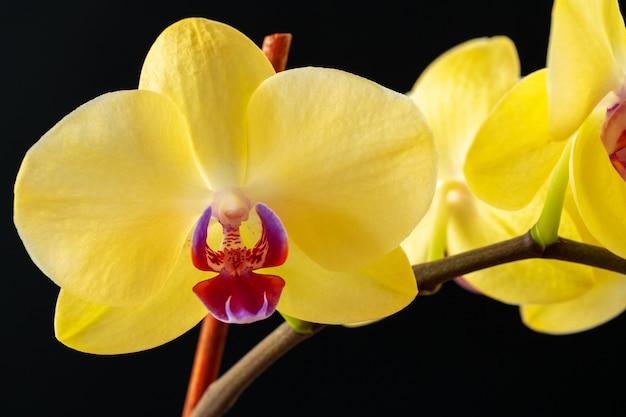 Natura morta con i bei fiori dell'orchidea sulla fine nera del fondo su