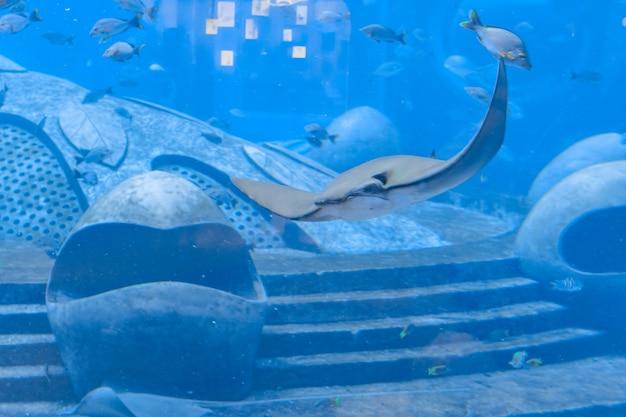 Stingray che nuota sott'acqua. la razza viene anche chiamata gatto di mare e si trova nelle acque temperate e tropicali. atlantide, sanya, isola di hainan, cina.