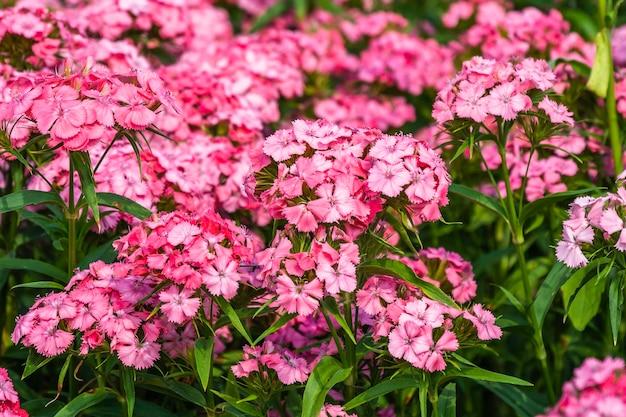 Stipa gigantea fiori in giardino in estate soleggiata.