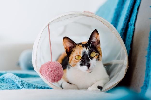 Stock photography gatto tricolore di razza europea all'interno del tunnel giocattolo di gatti che giace a riposo
