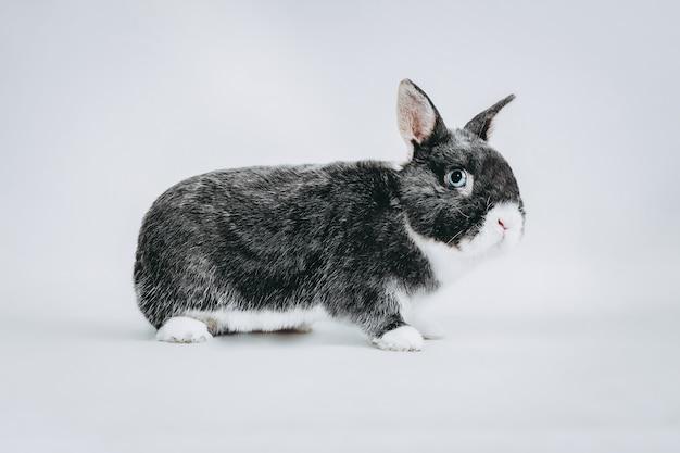 Stock photography di coniglio bianco e grigio su occhi blu bianchi