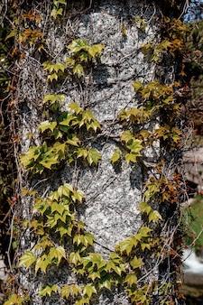 Un pilastro di pietra intrecciato con viti di uva fanciulla.