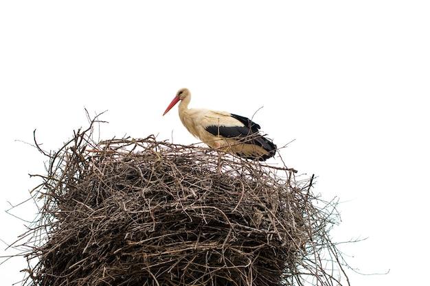 Cicogna in piedi nel suo nido nella stagione calda. isolato su sfondo bianco.