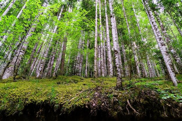 Alberi dritti nella foresta con terreno vuoto dall'erosione. ordesa pyrenees.