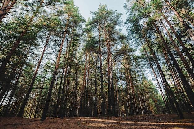 Tronchi dritti di alti pini. conifere giganti in foresta scura atmosferica. radici su radura. texture di pinery. incredibile paesaggio naturale.