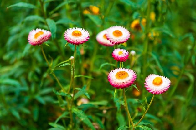 Fiore della paglia di bello variopinto sulla natura dell'erba verde in un giardino della molla.