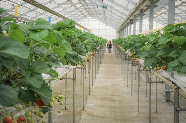 Fragole nell'azienda agricola della fragola della piantagione organica della serra