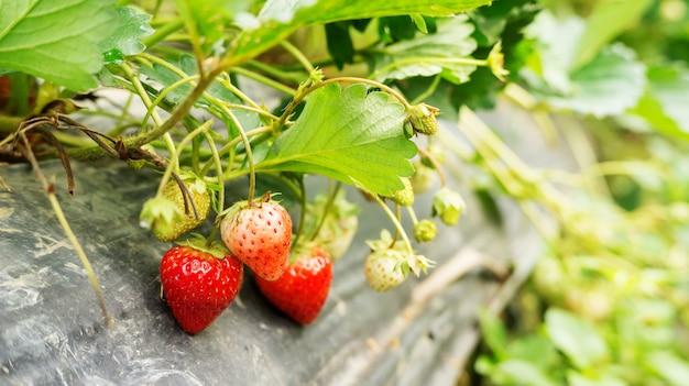 Pianta di fragole in un frutteto.