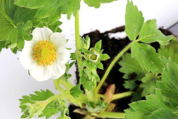 Piantina di fragole con fiore isolato su sfondo bianco