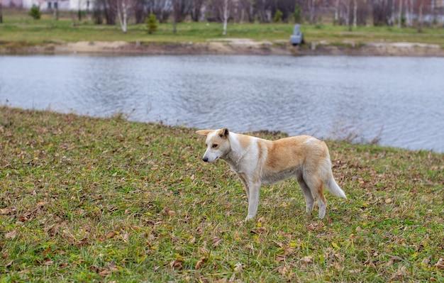 Un cane randagio abbandonato con occhi molto tristi e intelligenti. il cane corre nel parco accanto alle persone.