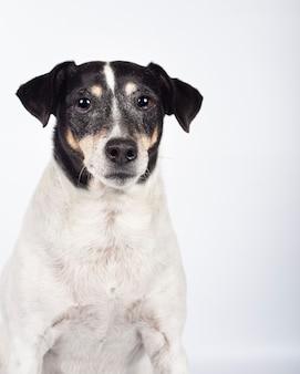 Ritratto di cane randagio in studio fotografico su sfondo bianco per l'adozione. giornata internazionale degli animali senzatetto
