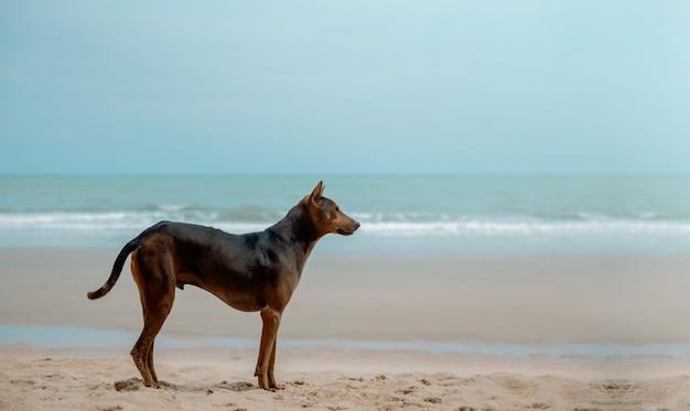 Cane randagio sulla spiaggia di sabbia. guardando lontano. giornata mondiale degli animali domestici. spiaggia del mare pulita e ampia