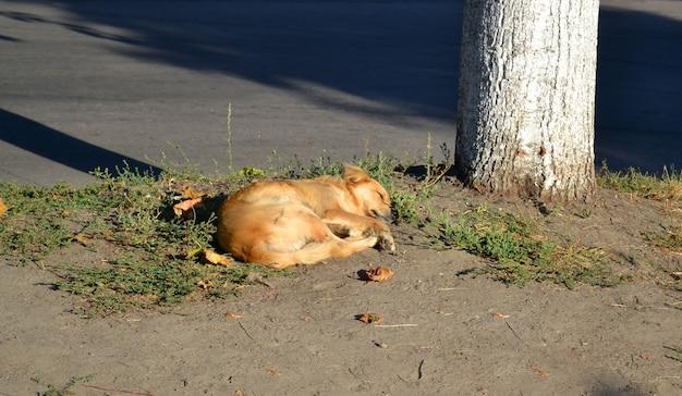 Il cane randagio con i capelli rossi e dorati giace a terra vicino all'albero in una mattina di sole.