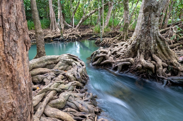 Flusso di acqua e bella radice di alberi a thapom klong song nam a krabi, in thailandia