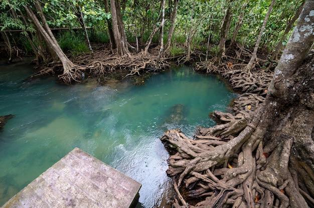 Flusso di acqua e bella radice di alberi a thapom klong song nam, krabi, thailandia