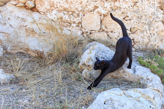 Gatto nero di strada che inarca la schiena.
