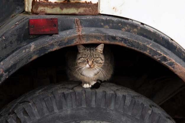 Il gatto di strada siede sul volante di un camion