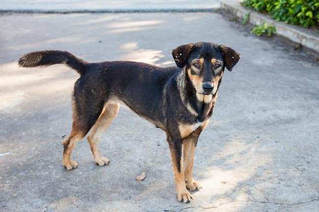 I cani di strada sono pieni di zecche sull'orecchio. Foto Premium
