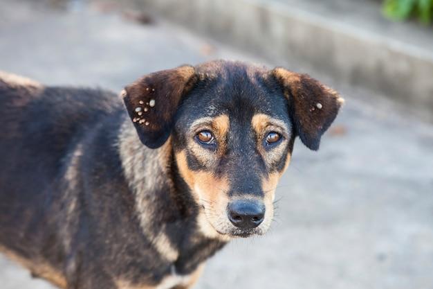 I cani di strada sono pieni di zecche sull'orecchio.